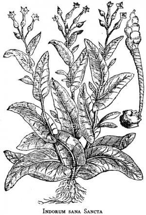 Первая опубликованная иллюстрация растения Nicotiana tabacum (Pena, De L'Obel, 1570-1571). Отметим небольшой рисунок справа, на котором показано, как курили листья Nicotiana индейцы и моряки. (Ист. New York Public Library)