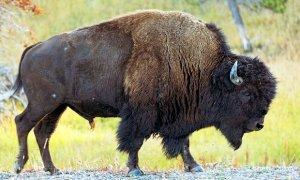 Бизон – новый национальный символ США. Фото: Brad Mitchell/Alamy