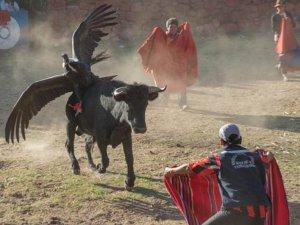 Кондор на быке: Фестиваль крови или «коррида по-перуански». Архивное фото - The Guardian / theguardian.com