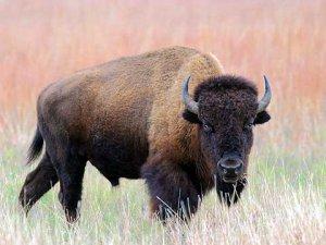 Бизон - род быков, парнокопытных млекопитающих семейства полорогих (Bovidae). Состоит из двух современных видов — европейского зубра (Bison bonasus) и американского бизона (Bison bison)