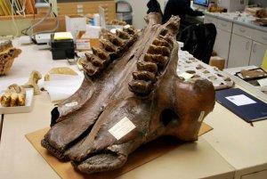 Один из исследованных черепов мастодонтов (UAMES 7663) из Ливенгуда, Аляска. Фото - авторов исследования