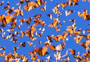 Численность представителей месоамериканских мифов, бабочек данаида-монарх, сокращается