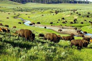 Парк Йеллоустон посоветуется с индейцами об увеличении в этом году квоты на отстрел бизонов. Фото: JREden/iStock/Thinkstock