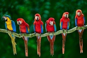 Исследование: индейцы Юго-Запада США разводили попугаев ара ради ценных перьев. Фото: Frans Lanting/NGC