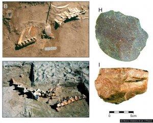 Останки древних лошадей и каменных инструментов для разделки туш.