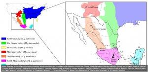Учёные выяснили как происходило одомашнивание индейки в Месоамерике