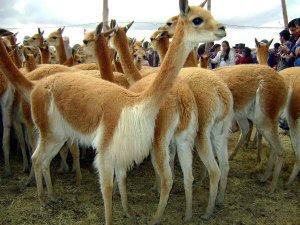 В Перу провели ритуал «Эль Чакку», «Свадьба викуний». Фото - impactoagrario-ayacucho.blogspot.ru
