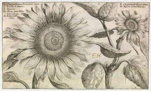 Chrysanthemum Peruvianum из книги Hortus Floridus (Utrecht: Officina Calcographica Cr. Passaei, 1614).