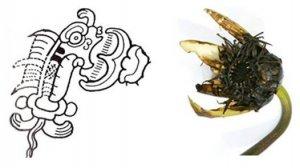 Рисунок 5. Одно из многочисленных стилизованных изображений бутона водяной лилии в майяской иконографии и фотография бутона для сравнения [26]