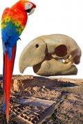 Исследование: попугаев доставляли на Юго-Запад США уже с 900-х годов
