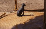 Голая мексиканская собака Ксолоицкуинтли