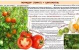 Помидор (томат) = шитоматль