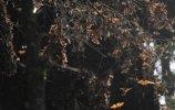 Бабочки монархи в Пьедра-Эрраде. Фото - О.Мясоедов, Е.Корыхалова
